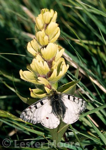 LMP-8726-Moth-on-Paintbrush-Yankee-Boy-Basin-San-Juan-Mountains-CO
