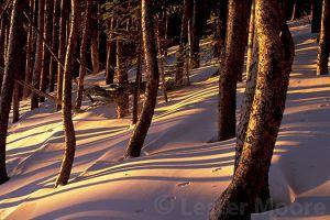 LMP-2361-engelmann-spruce-sunrise.jpg
