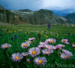 LMP-8751-Cropped-Asters-Upper-Elk-Creek-Weminuche-Wilderness-CO.jpg