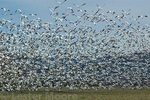 D-02144-snow-geese-skagit-river.jpg